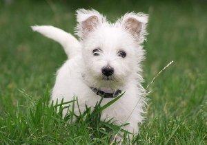 west_highland_white_terrier_6.